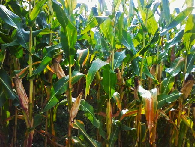Maíz-Monsanto
