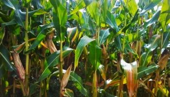 El control de la alimentación mundial: Monsanto y los alimentos transgénicos.